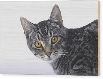 Portrait Of A Grey Tabby Catvancouver Wood Print by Thomas Kitchin & Victoria Hurst
