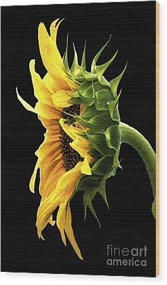 Portrait Of A Sunflower Wood Print