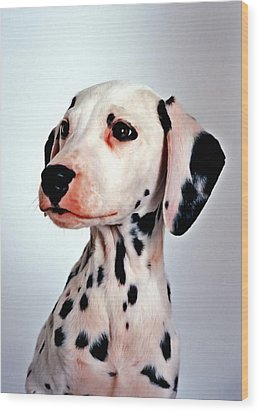 Portrait Of Dalmatian Dog Wood Print by Lanjee Chee