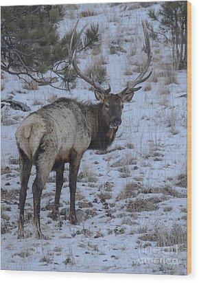 Elk Bull In Wind Cave National Park Wood Print