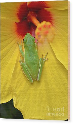 Powdered Frog  Wood Print by Kathy Gibbons