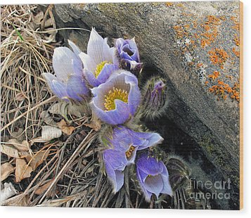 Praire Crocus Wood Print