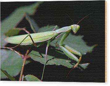 Praying Mantis Wood Print by Christina Rollo