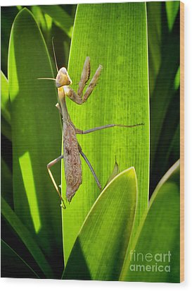 Wood Print featuring the photograph Praying Mantis by Kasia Bitner