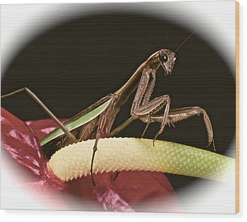 Praying Mantis Taking A Walk On The Anthurium Flower With A White Mat Finish Wood Print by Leslie Crotty
