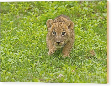 Predator In The Making Wood Print by Ashley Vincent