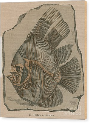 Prehistoric Fish Platax Altissimus Wood Print by Science Source