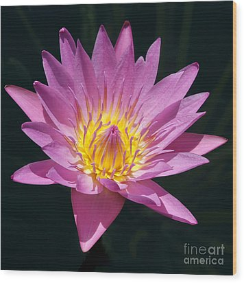 Pretty In Pink And Yellow Water Lily Wood Print by Sabrina L Ryan
