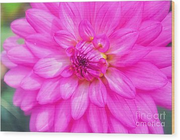 Pretty In Pink Dahlia Wood Print