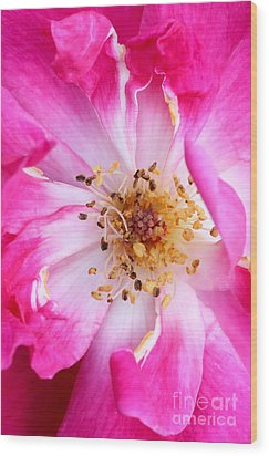 Pretty In Pink Rose Close Up Wood Print by Sabrina L Ryan