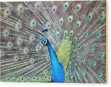 Wood Print featuring the photograph Pretty Peacock by Elizabeth Budd