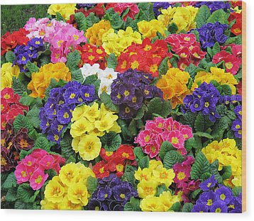 Primulae Wood Print by Gerry Bates