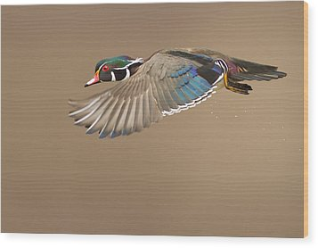 Probably The Most Beautiful Of All Duck Species Wood Print