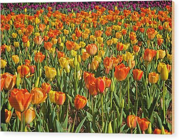 Profusion Of Tulips Biltmore Estate Nc Wood Print