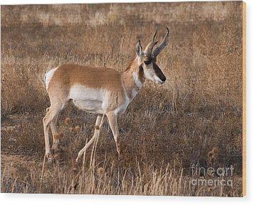 Pronghorn Antelope 2 Wood Print by Vivian Christopher