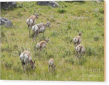 Pronghorn Antelope In Lamar Valley Wood Print by Belinda Greb