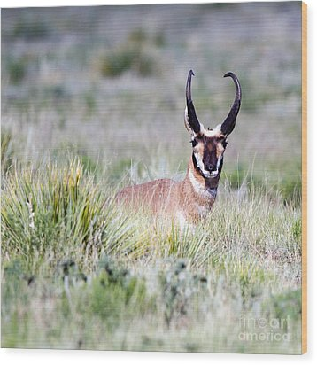 Pronghorn Buck In Prairie Grasses Wood Print by Martha Marks