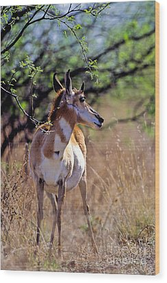 Pronghorn In Spring Wood Print by Martha Marks