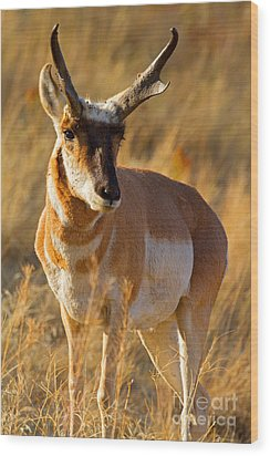 Wood Print featuring the photograph Pronghorn by Aaron Whittemore