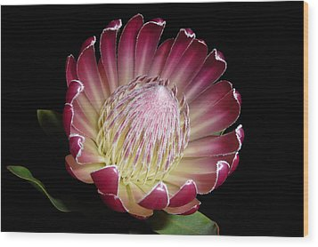 Protea Beauty Wood Print by Cindy McDaniel