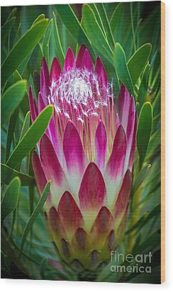 Protea In Pink Wood Print by Kate Brown