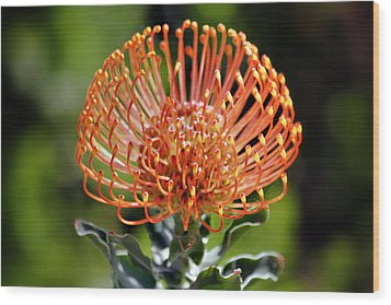 Protea - One Of The Oldest Flowers On Earth Wood Print by Christine Till