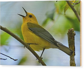 Prothonotary Warbler Singing Wood Print by Kathy Baccari
