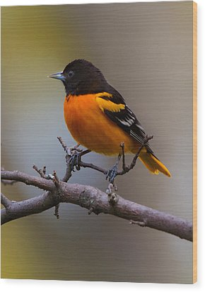 Proud Oriole Wood Print