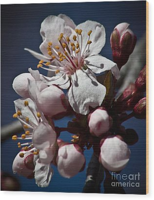 Prunus Armeniaca In Bloom Wood Print