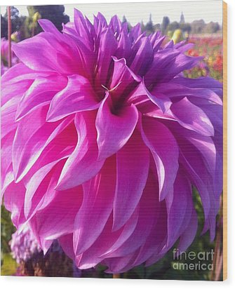 Puff Of Pink Dahlia Wood Print by Susan Garren