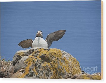 Puffed Up Puffin Wood Print by Anne Gilbert