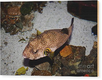 Pufferfish 5d24157 Wood Print by Wingsdomain Art and Photography