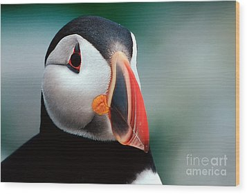 Wood Print featuring the photograph Puffin Head Shot by Jerry Fornarotto