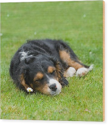 Puppy Asleep With Garden Daisy Wood Print by Natalie Kinnear