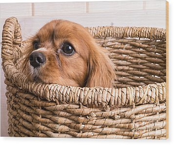 Puppy In A Laundry Basket Wood Print by Edward Fielding
