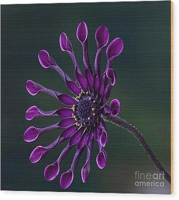 Purple African Daisy Wood Print by Shirley Mangini
