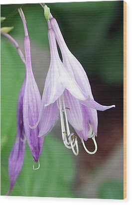 Purple And White Fuchsia Wood Print by Ron Roberts