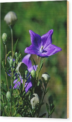 Purple Balloon Flower Wood Print by Anonymous