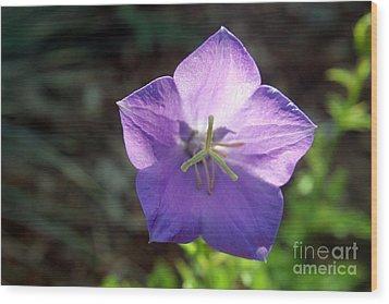 Purple Balloon Flower In Bloom Wood Print by Kenny Glotfelty