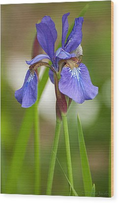 Purple Bearded Iris Wood Print by Brenda Jacobs