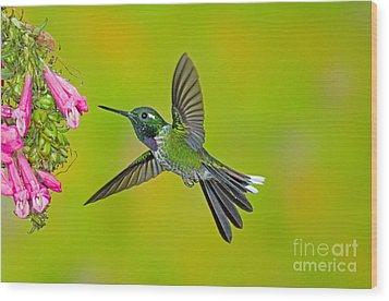 Purple-bibbed Whitetip Hummingbird Wood Print by Anthony Mercieca