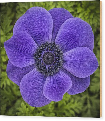 Purple Blue Anemone Wood Print by Jaki Miller