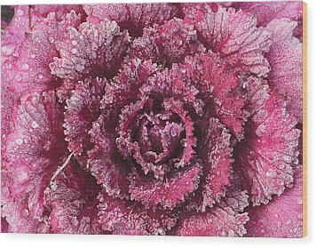 Purple Cabbage On A Frosty Morning Mill Wood Print by Stuart Westmorland