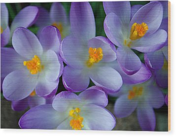 Purple Crocus Gems Wood Print