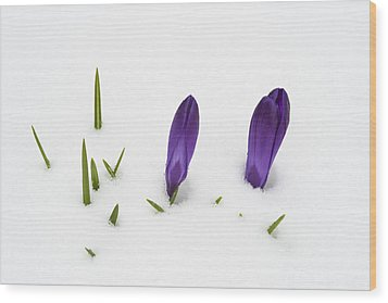 Purple Crocus In The White Snow - Spring Meets Winter Wood Print by Matthias Hauser