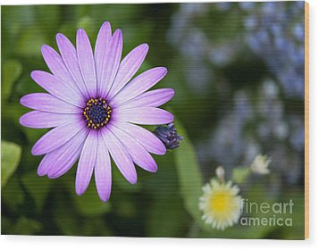 Purple Daisy Wood Print by Design Windmill