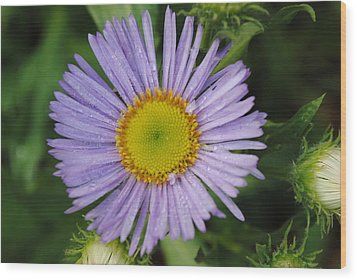Wood Print featuring the photograph Purple Daisy by Robert  Moss