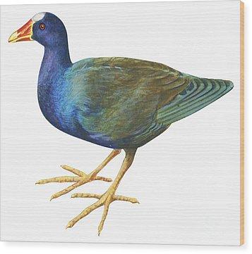 Purple Gallinule Wood Print by Anonymous