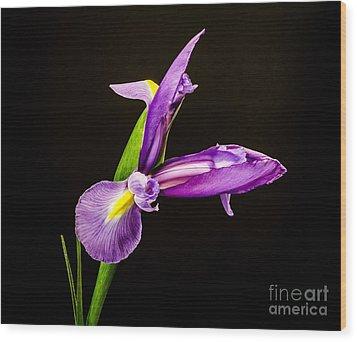 Purple Iris 2 Wood Print by Mitch Shindelbower