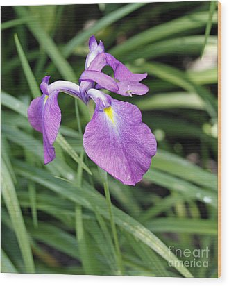 Purple Iris Wood Print by Denise Pohl